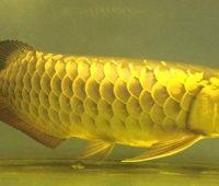 cá rồng cao lưng hồng vỹ 1