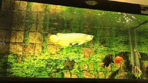 cá rồng highback 3