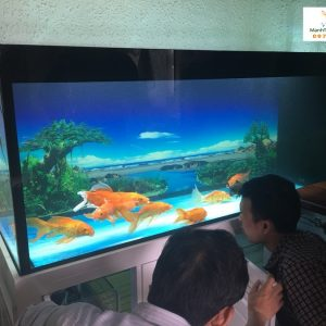 Bể cá rồng nhà anh Sơn Quốc Oai 3