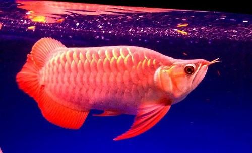 cá rồng cao lưng hồng vỹ 2