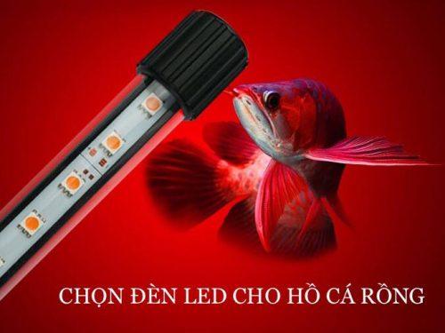 Đánh đèn cho cá rồng highback 4