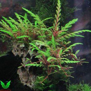 cây thủy sinh