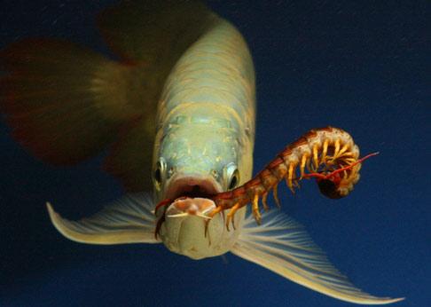 lên màu cho cá rồng 2