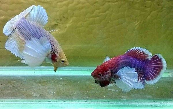 bể cá treo tường 3 Bể cá treo tường nên nuôi cá gì tiết kiệm công chăm sóc