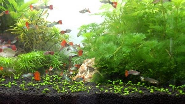 bể cá treo tường 4 Bể cá treo tường nên nuôi cá gì tiết kiệm công chăm sóc