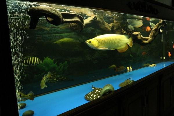 bể cá rồng 1 Tổng hợp cách trang trí và chăm sóc bể cá rồng đẹp phong thủy