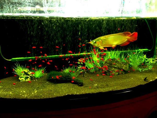 bể cá rồng 3 Tổng hợp cách trang trí và chăm sóc bể cá rồng đẹp phong thủy
