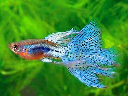 cá bảy màu 2