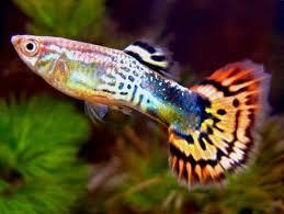 cá bảy màu 1