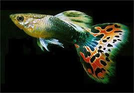 cá bảy màu 3