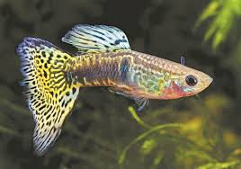 cá bảy màu 4