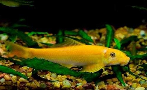 Cá bống vàng dọn bể 1
