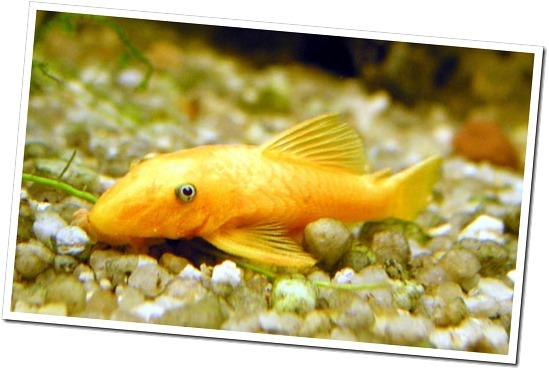 Cá bống vàng dọn bể 3
