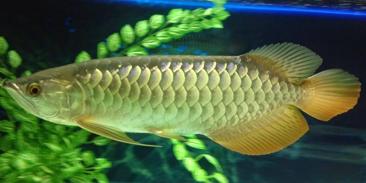 Cá Hồng Két