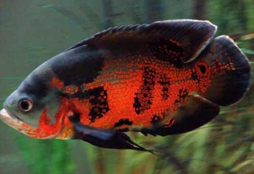 Cá Tai Tượng