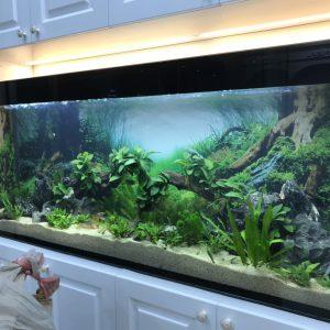 Bể cá thủy sinh thật âm tường nhà anh Sỹ ở Xuân La