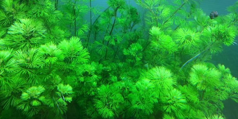 cây thủy sinh trong nhà cho bể cá