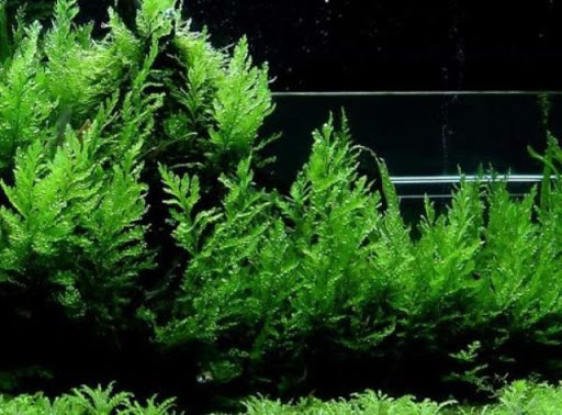 Cây dương xỉ thủy sinh