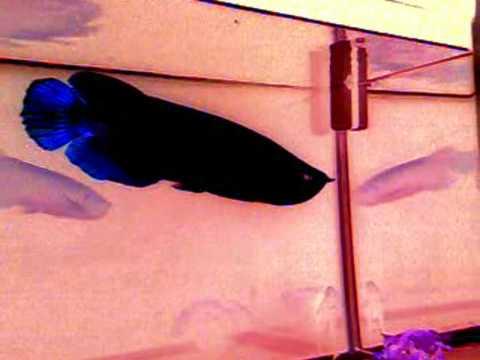 Cá rồng đen