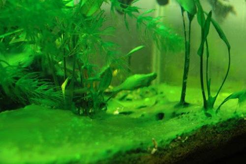 Bể cá rồng bị tảo xanh