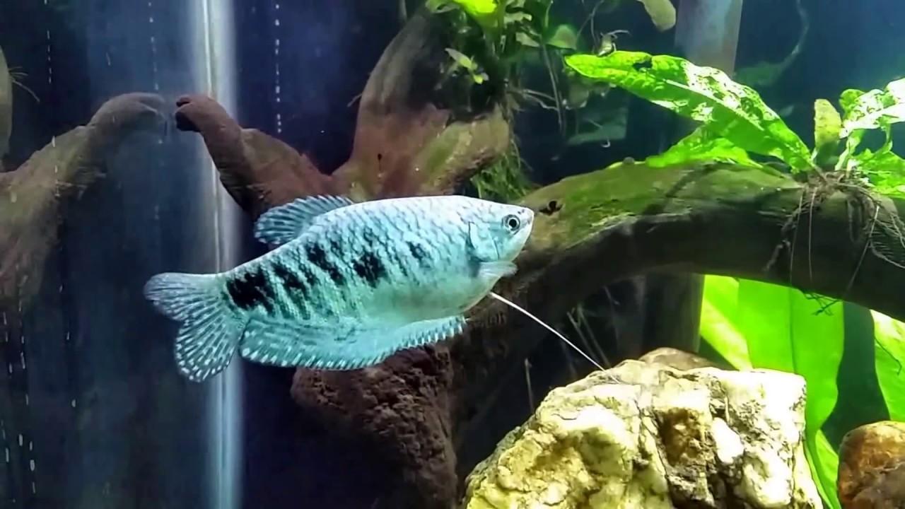 Cá Sặc Gấm – Dwarf Gourami