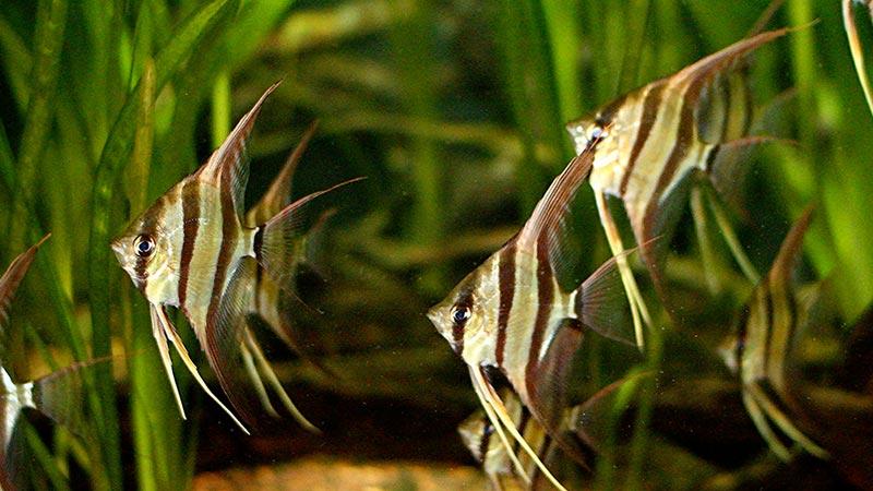 Cá Thần Tiên – Angel Fish